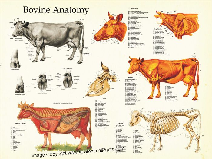 Cow Bovine anatomy chart. Muscles, skeleton and internal organs.