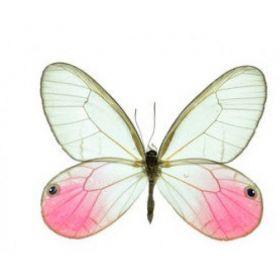 Vlinders :: Cithaerias merolina