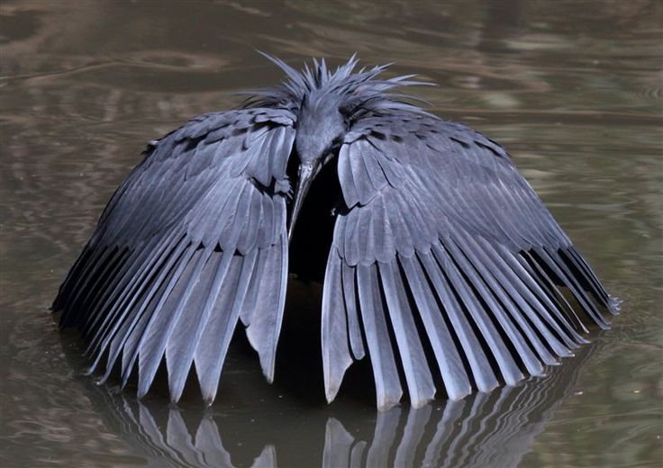 "The Black Heron has a fascinating feeding method called ""umbrella-fishing"". See what local #bird expert, Peter Lawson has to say: http://likweti.co.za/blog/black-heron-new-sighting-at-likweti/"