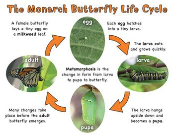 MONARCH BUTTERFLY NONFICTION READ & WRITE FACTS, 3D LIFE CYCLE CRAFT - TeachersPayTeachers.com