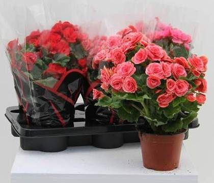 BEGONIA DIAM.14 FIORE DOPPIO  Florpagano di Antonio Pagano (piante e fiori) www.florpagano.com