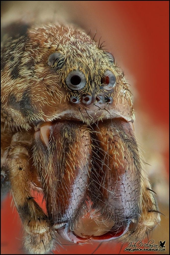wolf spider--those are some @$%&* amazing fangs