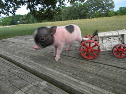 Mini Teacup Pigs | Piggly Wiggly Micro Mini Pigs And Juliana / Teacup Miniature Pigs !!!