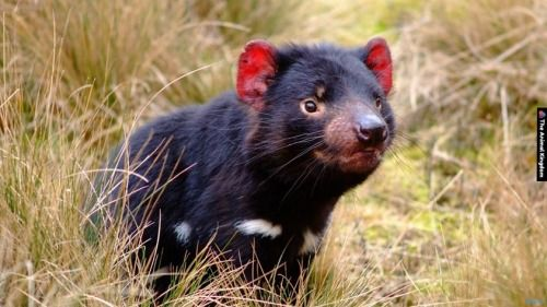 As well as being a famous Looney Tunes character, the Tasmanian Devil is a real animal that is only found in the wild in Tasmania, Australia. It is the largest carnivorous marsupial in the world.