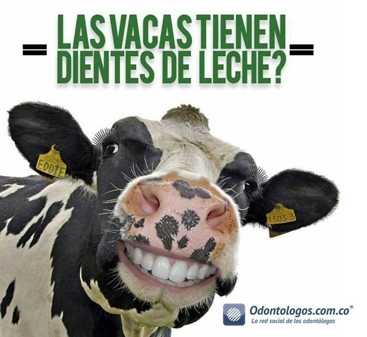 #SabiasQué Como el resto de los mamíferos, incluido el ser humano, las vacas también cambian de dentadura una vez en la vida. Sin embargo solo cambian los dientes premolares, los molares posteriores son para toda la vida. En la mandíbula superior la vaca no tiene dientes de leche tampoco, sino una placa de papilas rumonales resistentes que son la envidia de cualquier odontólogo #OdontólogosCol #Odontólogos