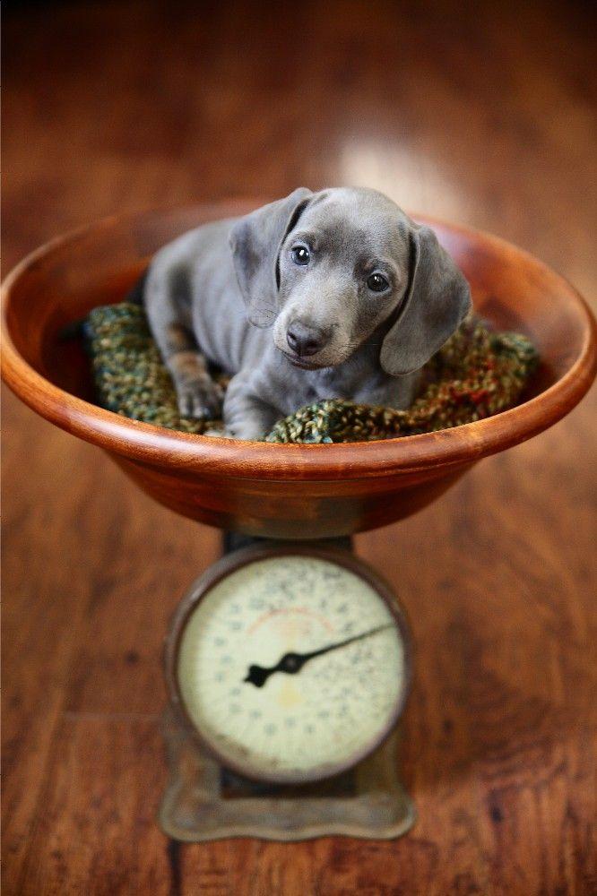 I love blue dachshunds!