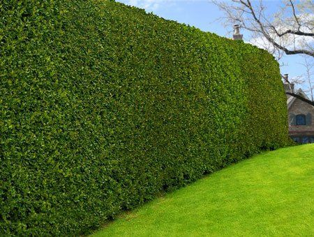 America's Most Popular Holly - - Ideal for creating a hedge or privacy screen  - Disease & Pest Resistant  - Award winning!   American Holly Trees can be trimmed as a foundation hedge or as a secure, tall privacy fence. They require minimal watering and grow in a variety of climates. Resists mildew, disease and insects....