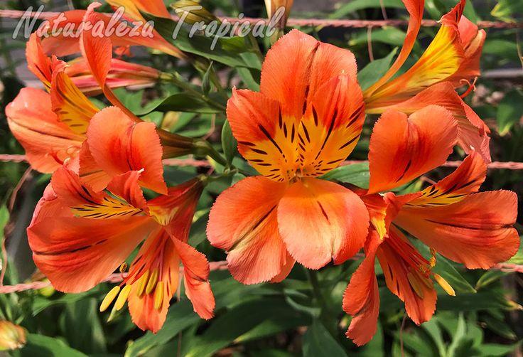 Lirio del Perú con flores anaranjadas y amarillas manchadas, género Alstroemeria
