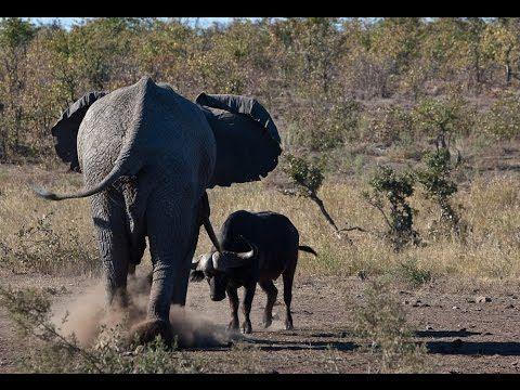 El elefante contra el búfalo contra el cocodrilo Animales Attaque