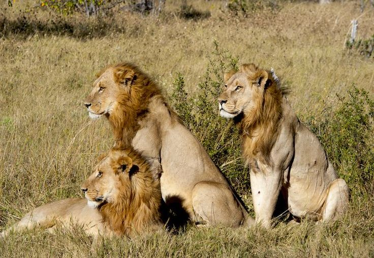 New U.S. Protections Could Crush 'Canned' Lion Hunting | TakePart