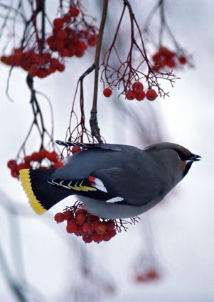Bohemian Waxwing  Montana  photo by Mangelsen