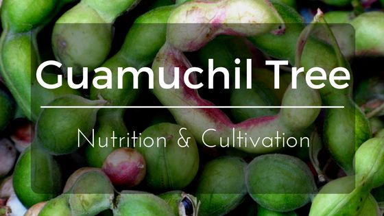 Everything you need to know about the Guamuchil Tree aka Pithecellobium Dulce: planting, fruit nutrition, and health benefits.