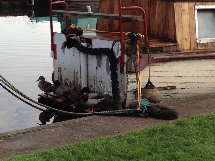 Ducks not wanting to get their feet wet.