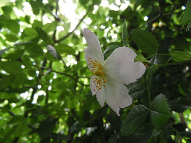 Wild Rose! Rosa silvestre en mi pequeño jardín!