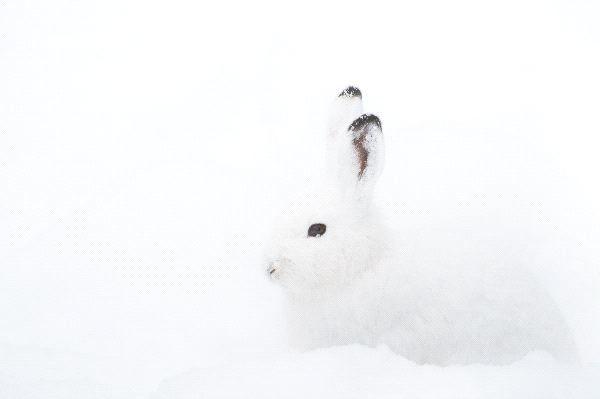 Liebre ártica (Lepus arcticus)