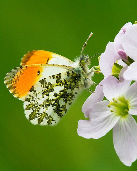 Orange-tip Butterfly. I love butterflies but this one is just too cool.