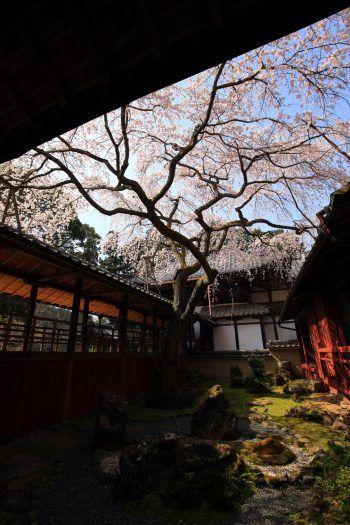 京都十輪寺のなりひら桜と三方普感の庭(さんぽうふかんのにわ)