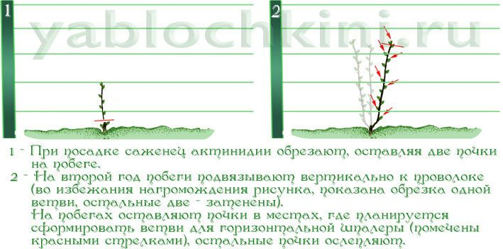 обрезка-актинидии-1