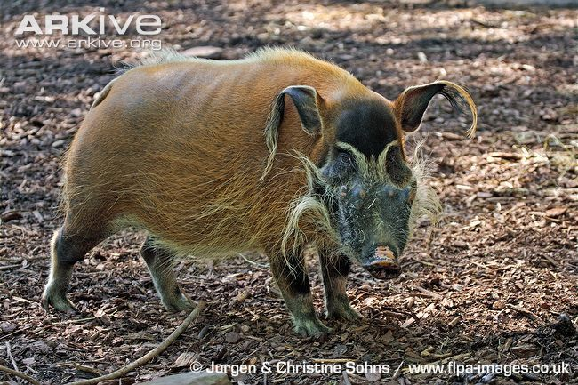 Instantly recognisable for its bright rufous fur, the red river hog (Potamochoerus porcus) is undoubtedly the most strikingly coloured of all wild pigs. Despite being, on average, the smallest African pig, this species possesses a stocky body with powerful shoulders, and a large, wedge shaped head, enabling it to quickly root up tough vegetation.