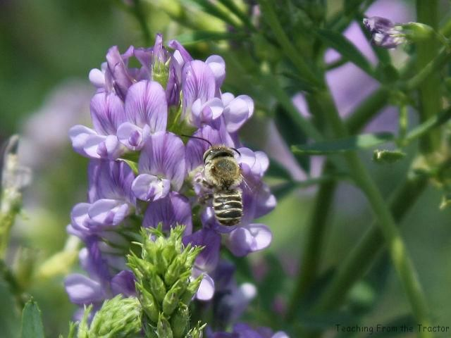 Cutter bees pollinating alfalfa seed.- Teaching From the Tractor