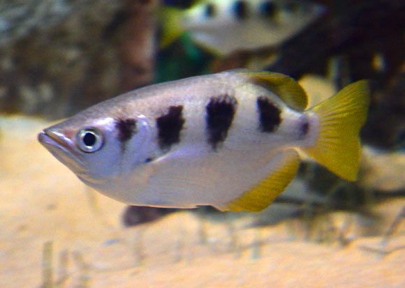 Archerfish (Toxotes chatareus). Newport et al. found that archerfish could be…
