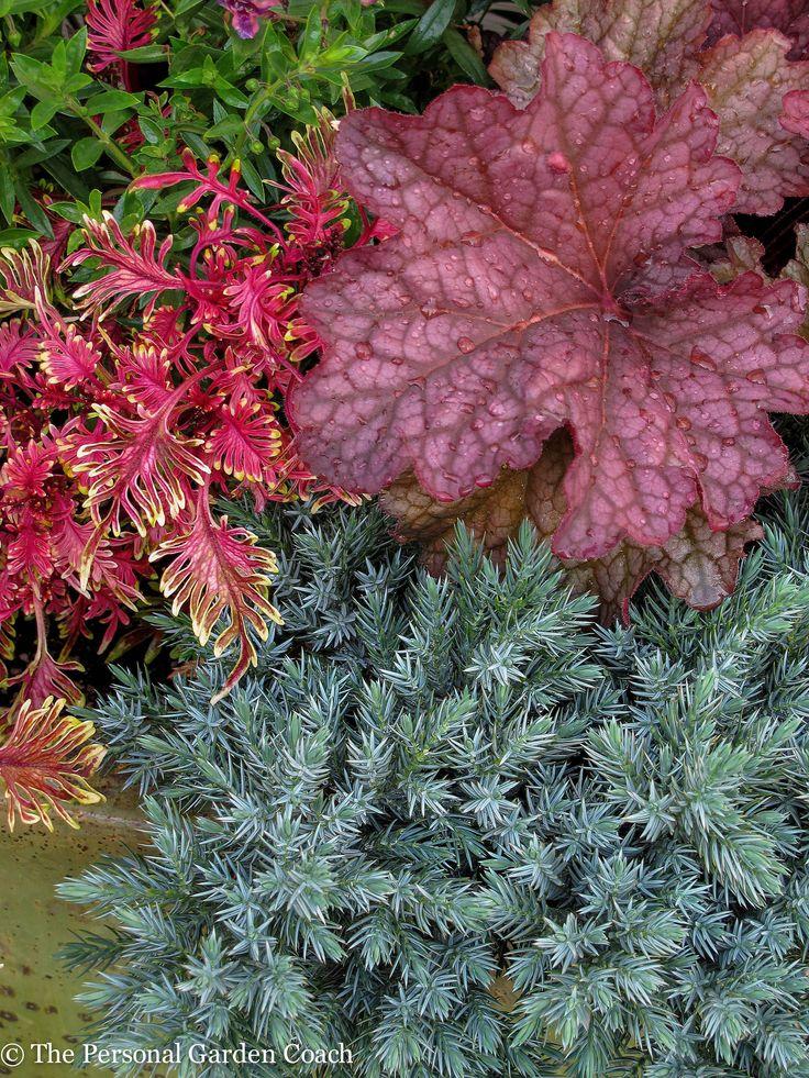 """""""Under the Sea"""" Coleus, Heuchera 'Berry Smoothie', 'Blue Star' Juniper http://fine-foliage.com/2014/09/17/september-survey-of-foliage/"""