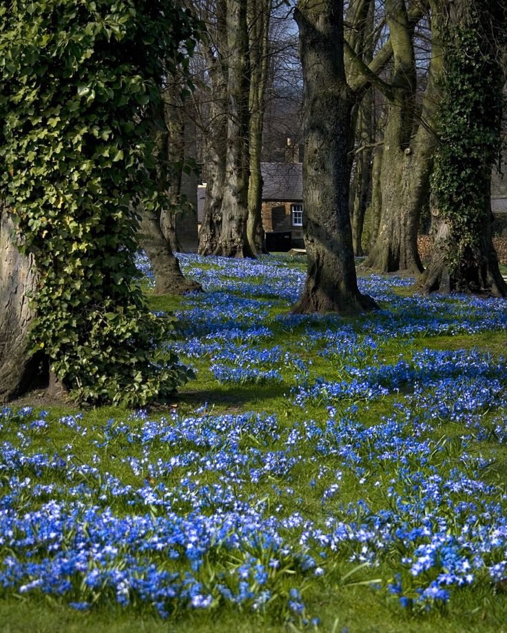 Blue flower carpet (Scilla species), Alnwick Gardens, Bedford, UK