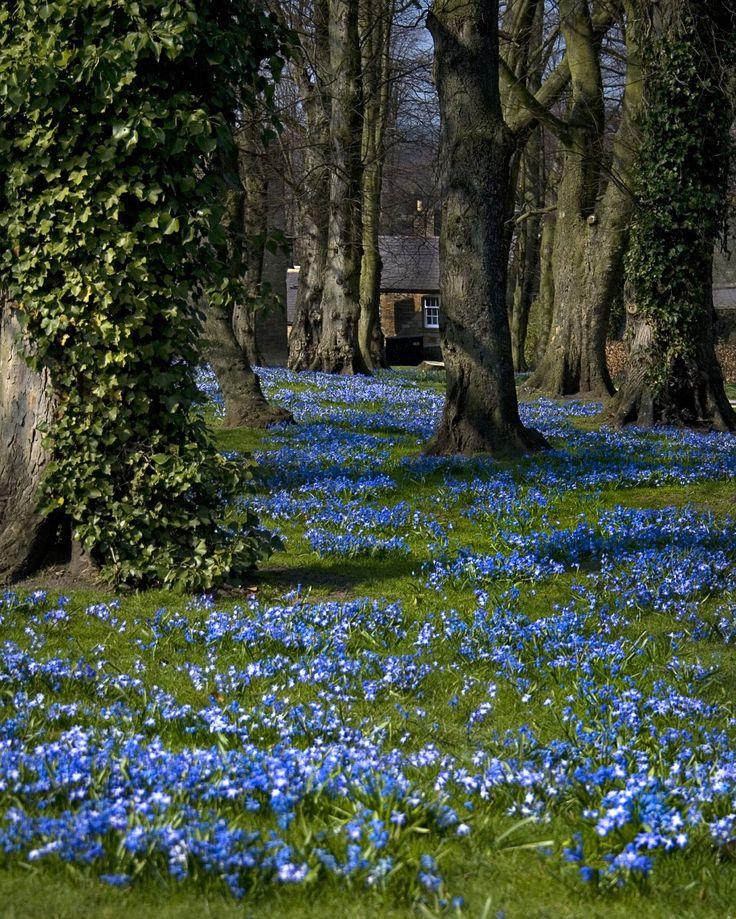 Blue flower carpet (Scilla species), Alnwick Gardens, Bedford, UK