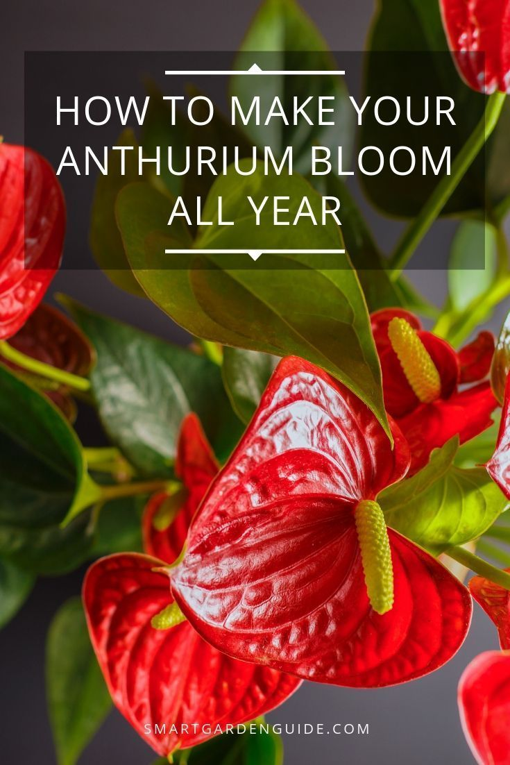 Anthurium Not Flowering 7 Ways To Make It Bloom Anthurium Anthurium Plant Anthurium Flower