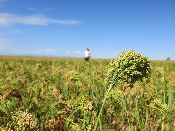 The #millet plant is drought-tolerant, and nutritionally it competes with #quinoa, the protein-rich South American grain that American farmers to grow.