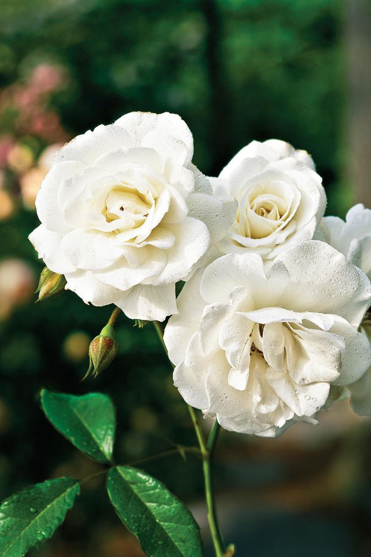 'Glamis Castle' Rose | Doug Gifford's North Carolina mountainside garden shows it all comes down to choosing the right plants. Here, nine types of roses to make your garden spectacular.