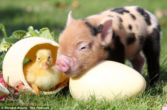 Sweet: This pig seems to have found a new friend.    I love pigs. They are so precious, and like dolphins always smiling.