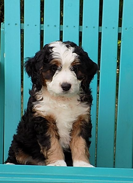 Breeding beautiful tri-color miniature and standard F1 and F1b Bernedoodles.