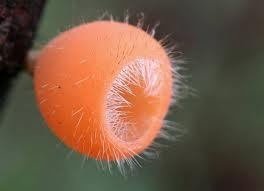 Cookeina tricholoma (Mont.