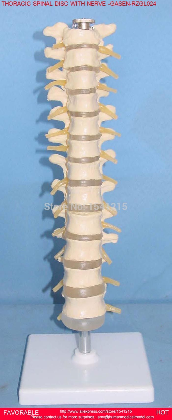 THORACIC SPINAL CORD,MODEL OF THE THORACIC VERTEBRA,THORACIC VERTEBRA ,SPINAL CORD,BANDTHORACIC DISC AND NERVE -GASEN-RZGL024