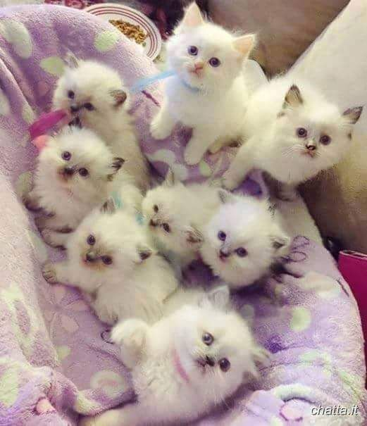 25+ best ideas about Fluffy kittens on Pinterest