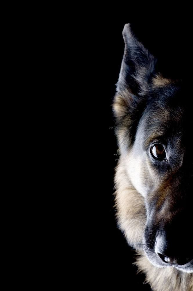 Beautiful Picture Of German Shepherd