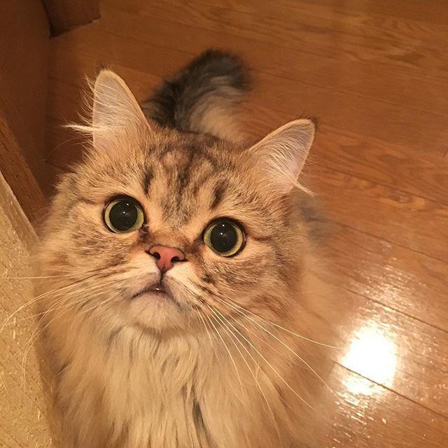 * * お姉ちゃん朝から体がカユカユで 病院行ったにゃん🙀💦 大丈夫かにゃん😿 * * #愛猫#Jura#マンチカン#チンチラ#ミックス#cat #love#愛猫溺愛部#鼻フェチクラブ#lovecat#Jura #毛長#短足#pet#cat * * #朝起きたら... #「なんじゃ~こりゃー」 #身体中に発疹😱 #心あたりはある #病院受診 #案の定 #ピロリ菌除菌後副作用💦 #痒くてたまらん #後から来るタイプね(笑) #腹痛、下痢、発疹、倦怠感、胃痛 #最悪やないかい #しんどいぜ!(笑) #でも、頑張る~💪😂