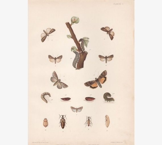 vine wine antique botanical print chromolithograph moths