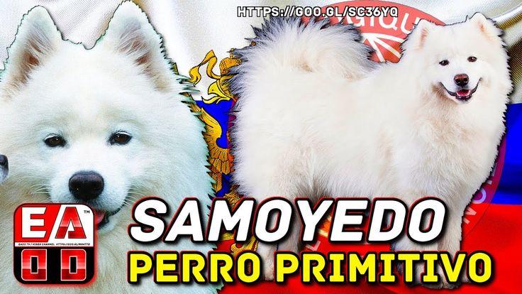 SAMOYEDO - PERRO DE TRINEO TIPO SPITZ Y TIPO PRIMITIVO - FCI  212