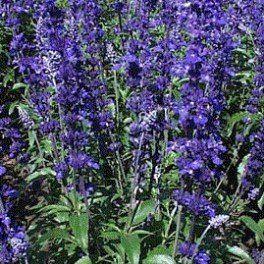 Šalvěj modrá - Salvia farinacea - osivo šalvěje - 60 ks