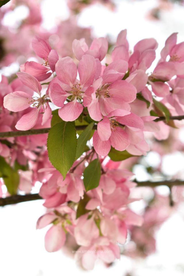 Cherry Blossom 5 Free Download Photos S M I L E Y I O A N A In 2020 Cherry Blossom Blossom Trees To Plant
