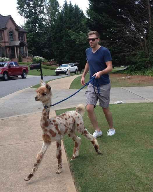 Is anyone else laughing at the fact that this man is walking a llama!?