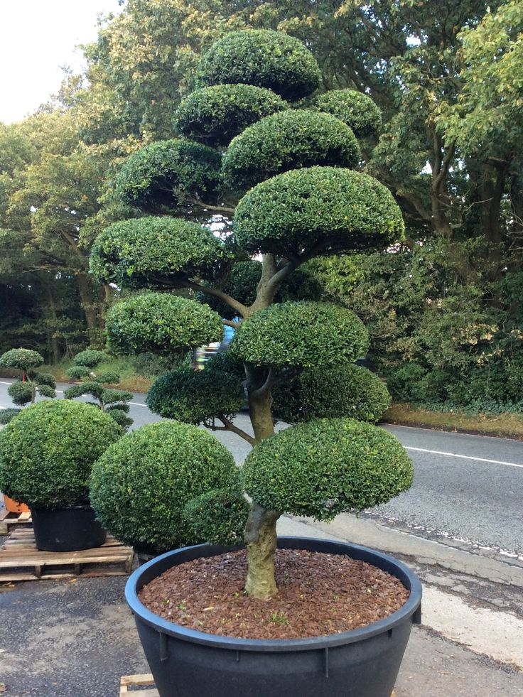 349 best niwaki images on pinterest bonsai japanese for Arbres jardin japonais