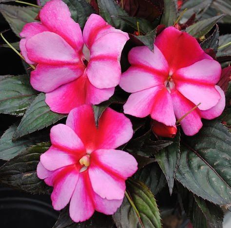 Sonic sweet purple new guinea impatiens got 10 9 for bed New guinea impatiens