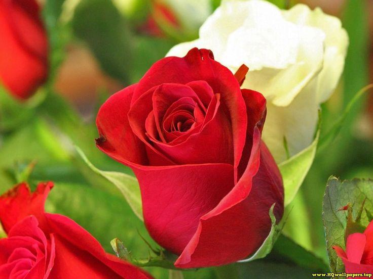 Roses 640