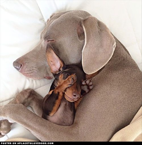 Weimaraner Harlow cuddles with her new pal and best friend Indi, a cute little Mini Dachshund