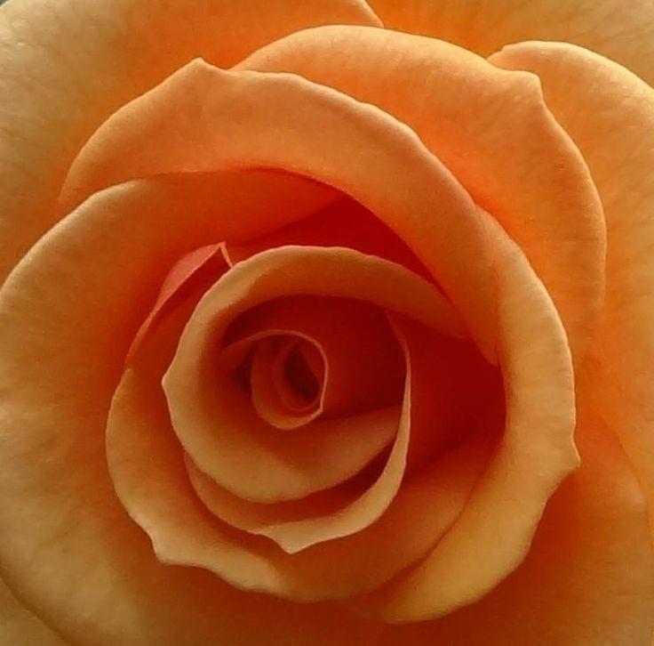 Pinkish orange rose