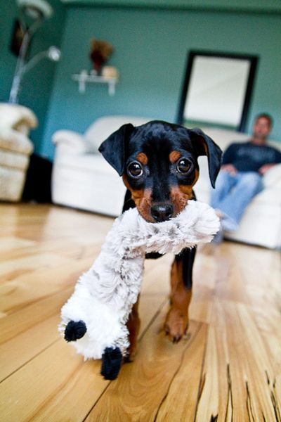 So want to get a Miniature Pinscher one of these days <3 #SoCute