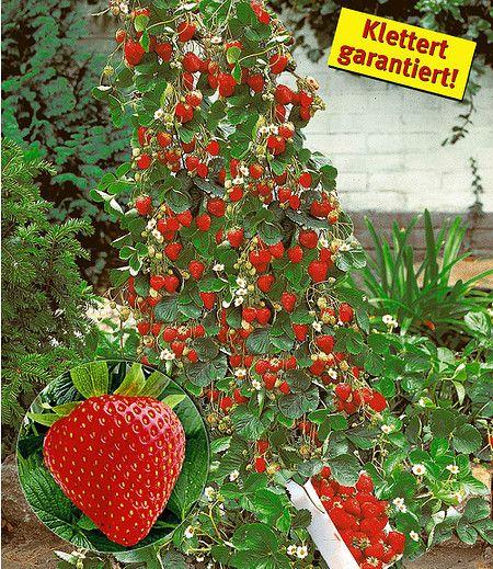 Diese besondere empfehlenswerte Erdbeer-Züchtung gilt als die beste Kletter-Erdbeere der Welt! Denn diese Sorte bildet garantiert extra lange und starke Ranken, die Sie an einer Kletterhilfe (Spalier, Gitter, Zaun) bis zu 1,5 Meter hoch aufbinden können! Die ersten großen, leuchtend roten Erdbeer-Früchte ernten Sie bereits im Jahr der Pflanzung! Die leckeren Erdbeeren bleiben vom Sommer bis zum Frost groß und süß und werden einfach nicht weniger. Und im nächsten Jahr wieder!